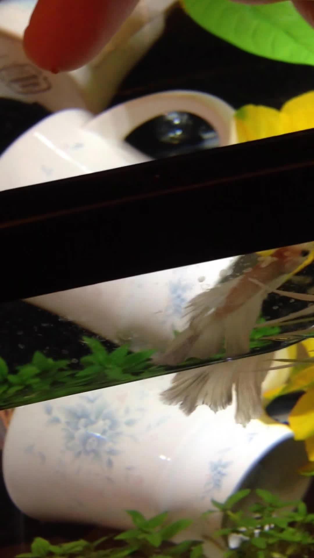 bettafish, Feeding Bailey~ GIFs