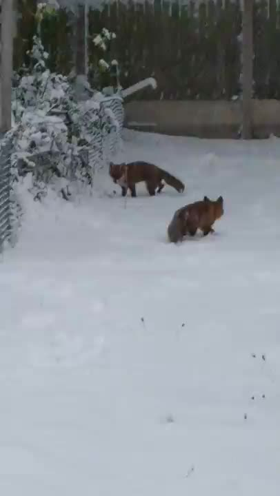 Foxes playing in the snow GIFs