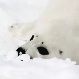 Watch and share Baby Seal GIFs and Harp Seal GIFs on Gfycat