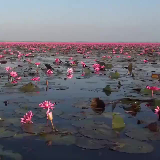 Watch and share Sea Of Pink Lotus, Thailand GIFs by hellsjuggernaut on Gfycat