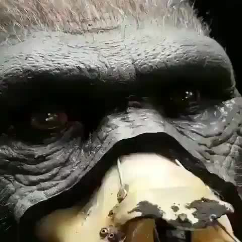 Watch Incredible gorilla animatronic GIF by tothetenthpower (@tothetenthpower) on Gfycat. Discover more related GIFs on Gfycat
