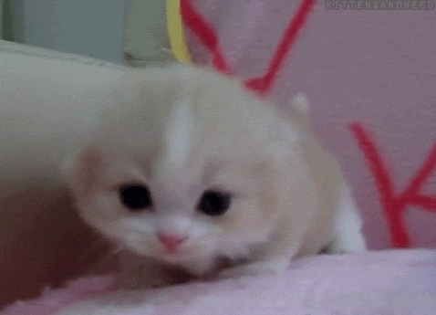 cat, kitten, kitty, meow, Follow Us for More BABY ANIMALS DAILY GIFs