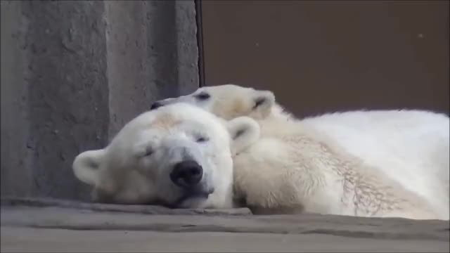 Watch this polar bear GIF on Gfycat. Discover more animals, bear, bears, cute, google, polar bear GIFs on Gfycat