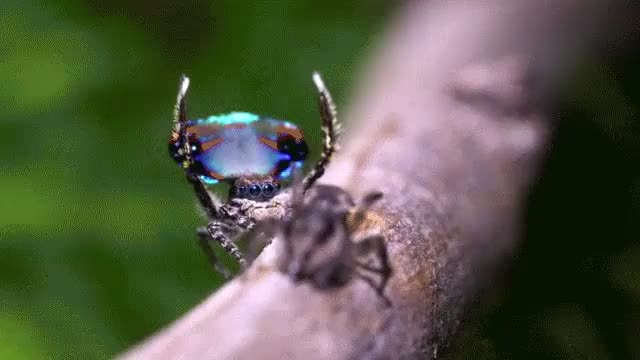 Watch Peacock spider (reddit) GIF on Gfycat. Discover more naturegifs GIFs on Gfycat