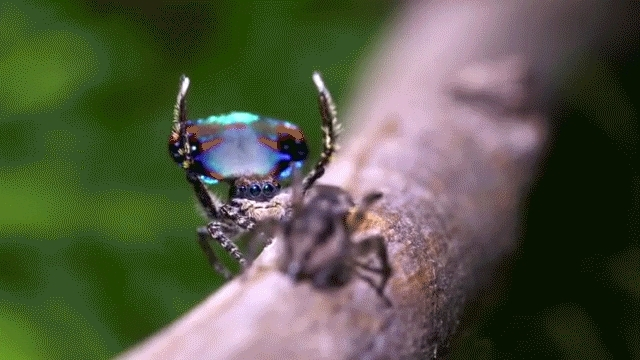 naturegifs, Peacock spider (reddit) GIFs