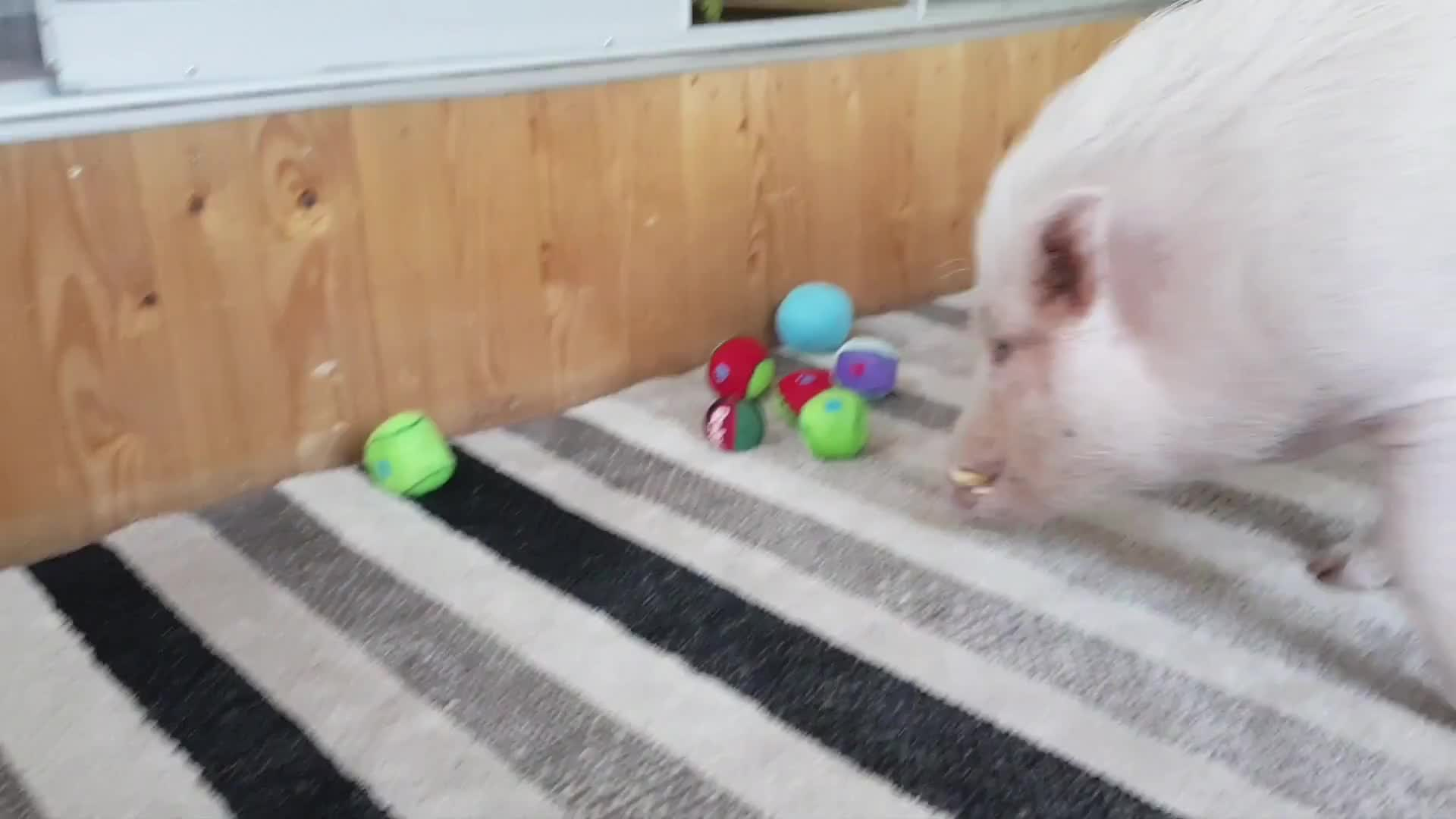 Pets & Animals, Paul is a tidy pig GIFs