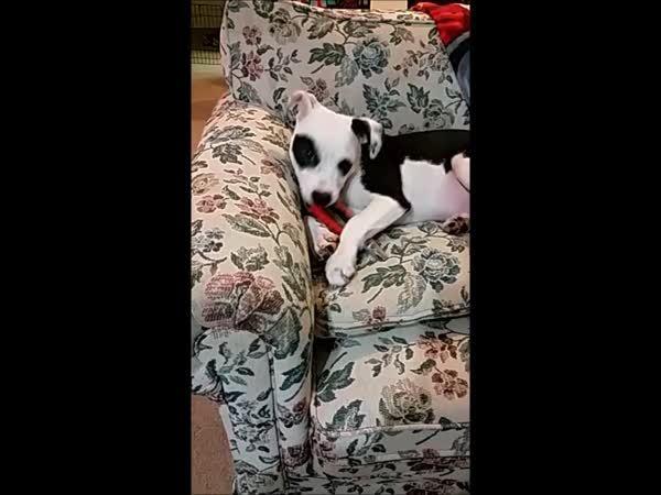 aww, pitbulls, Bane really really really hates his nail clippers (reddit) GIFs