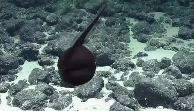 Watch and share The Gulper Eel Is Rarely Sighted Above 6,000 Feet And Inflates Itself To Appear Bigger To Predators. Its Insane Mouth Gives It Its Name GIFs by tothetenthpower on Gfycat