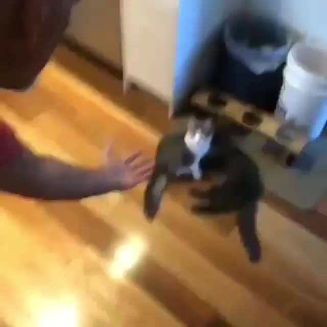 cat, cats, The proper way to pick up a cat (@catmantoo) GIFs