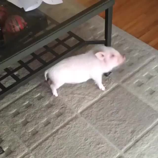 Watch this animal GIF by @likkaon on Gfycat. Discover more animal, animals, pig, pigs GIFs on Gfycat