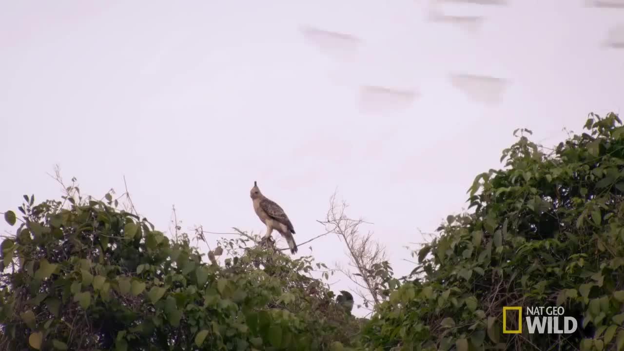 Wallace's Hawk-eagles hunting bats GIFs
