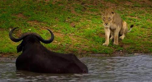 Watch and share 🐃 Water Buffalo GIFs on Gfycat