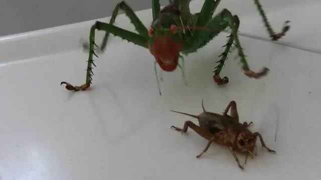 Watch and share Katydid Destroys A Cricket GIFs by Pardusco on Gfycat