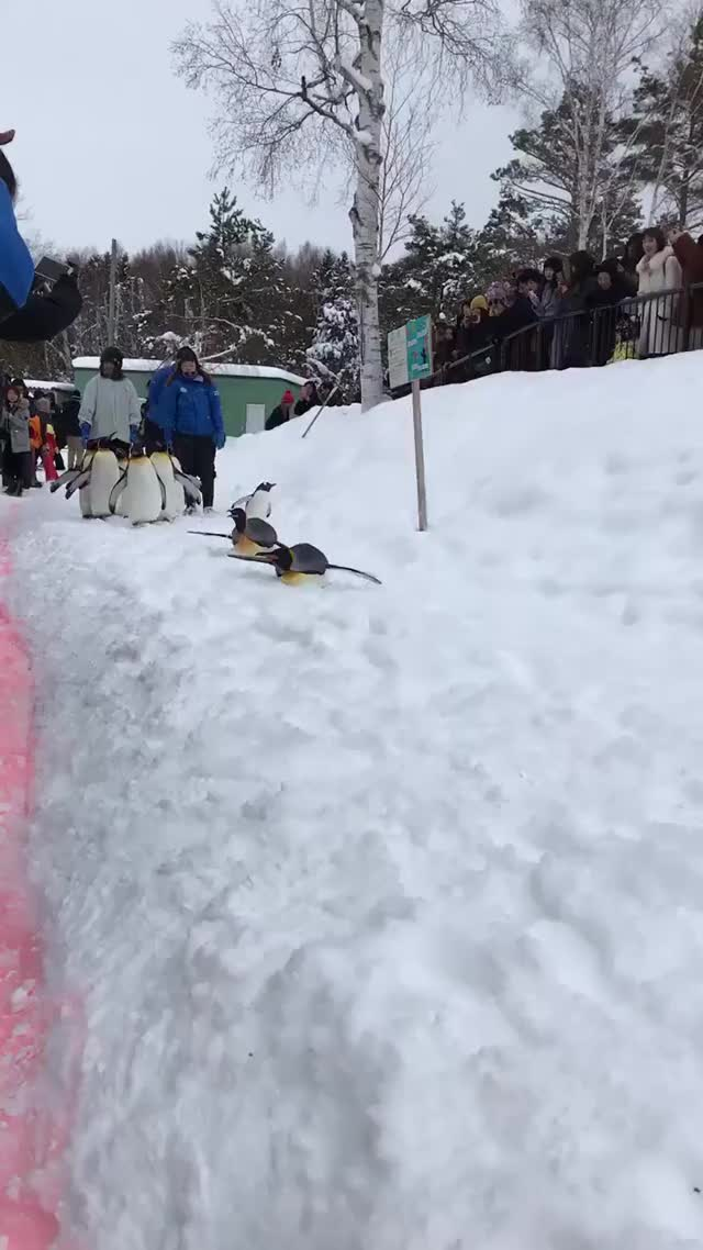 Watch and share Zoo Penguins Is So Happy That It Snowed. GIFs on Gfycat