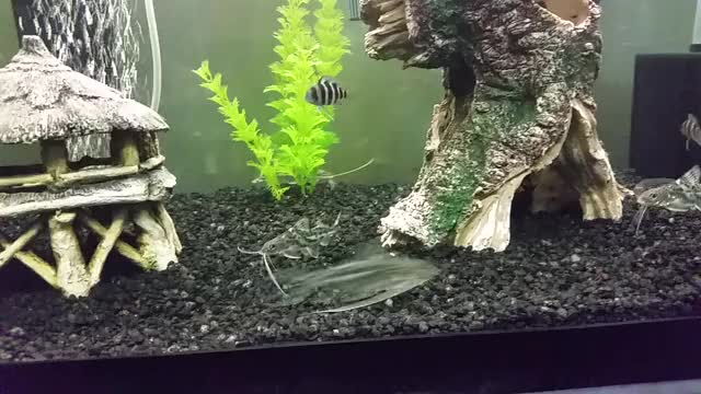 Pictus Catfish Frontosa Senegal Bichir Clown Loach Gif Find
