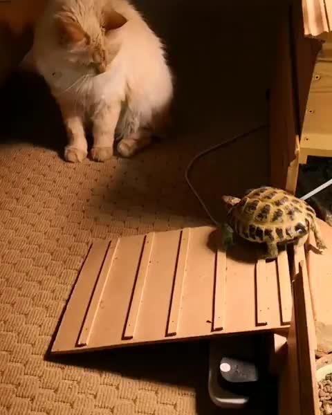 Rampaging Tortoise GIFs