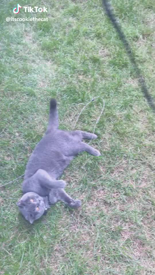 cat, cutecat, cutekitty, kitty, Playing with a belt 😹😺 #cat #cutecat #kitty #cutekitty #summer #garden #cookiethecat #ily #cookie GIFs