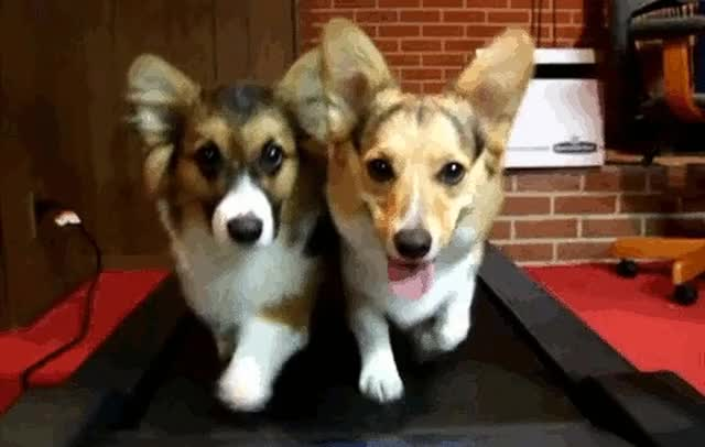 Watch corgis-running GIF on Gfycat. Discover more related GIFs on Gfycat
