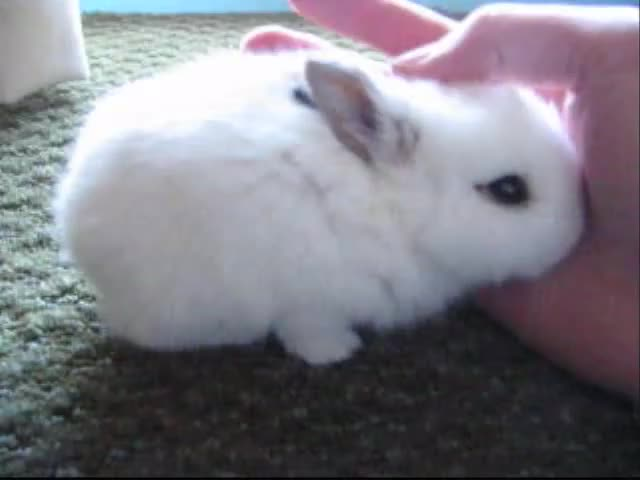 Watch smol bun GIF on Gfycat. Discover more Christin389, Pets, baby, bunny, cute, mochi, rabbit, sleepy, ねむねむウサギ GIFs on Gfycat