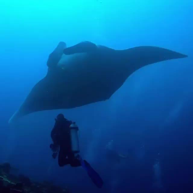 Watch and share Manta Ray GIFs and Sea Life GIFs by Unicornglitteryblood  on Gfycat