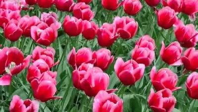 Watch and share Keukenhof Gardens | World Beautiful Flowers  | Tulip Garden 1080HD GIFs on Gfycat