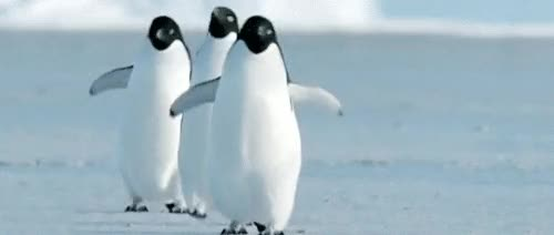 Watch and share Penguins. Penguins. Penguins. Penguins. Pen. . .guin. Penguinpenguinpenguinpenguinpenguins! GIFs on Gfycat