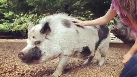 friendsnotfood, govegan, livekindly, non-profit, odd man inn, odd man inn animal refuge, rescue, sanctuary, Bubo loves belly rubs at Odd Man Inn Animal Refuge GIFs