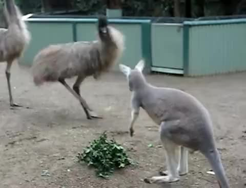 Watch this animal GIF on Gfycat. Discover more animal, animals, kangaroo GIFs on Gfycat