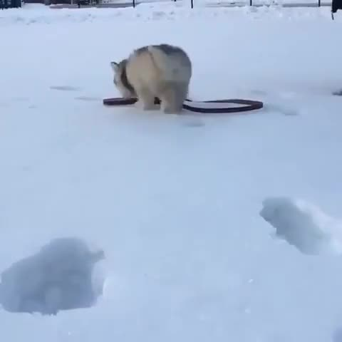 Watch and share Husky Puppy Falls Into Owner's Footprints In Snow - 987987 GIFs by likkaon on Gfycat