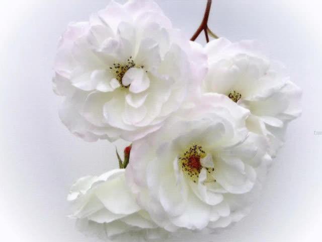 Watch and share Нежные Белые Цветы GIFs on Gfycat