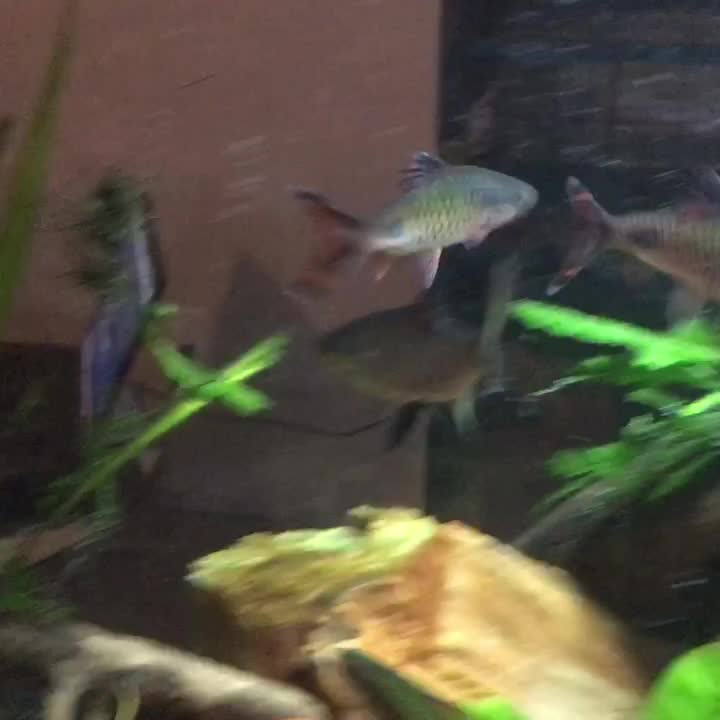 Fish, aquariums, plantedtank, Filament barbs male sparring GIFs