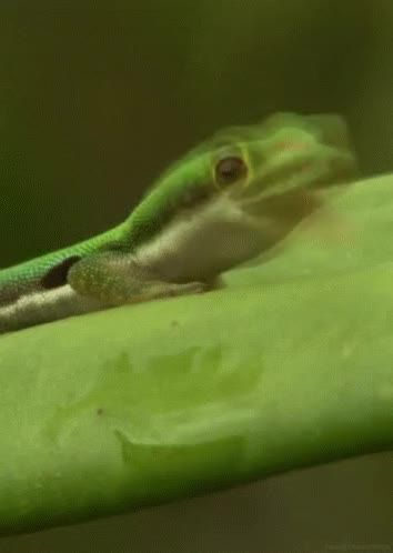Watch and share Lizard GIFs on Gfycat