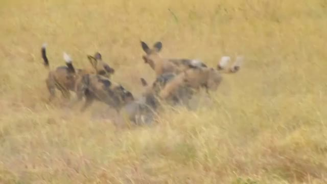 Watch and share African Wild Dogs Feasting On A Live Warthog GIFs by Pardusco on Gfycat