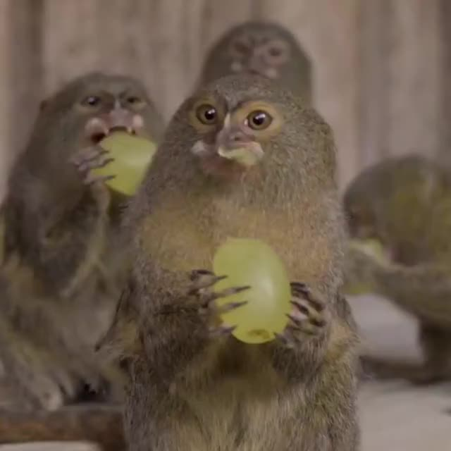 Watch nom nom nom GIF by GIF Reactions (@visualecho) on Gfycat. Discover more adorable, animal, aww, cute, grapes, monkey, pygmy marmoset GIFs on Gfycat