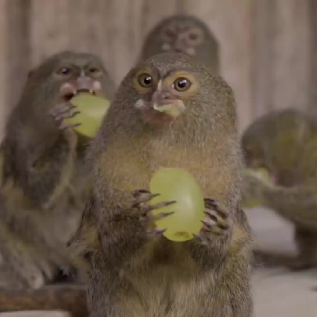 adorable, animal, aww, cute, grapes, monkey, pygmy marmoset, nom nom nom GIFs