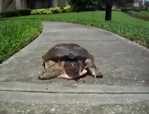 Watch and share Fast Turtle GIFs on Gfycat