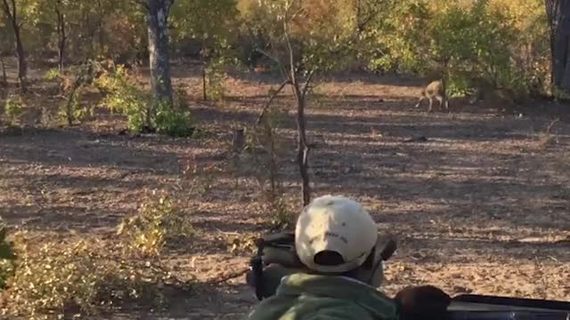 Watch and share Leopards Fighting GIFs by Londolozi Game Reserve on Gfycat
