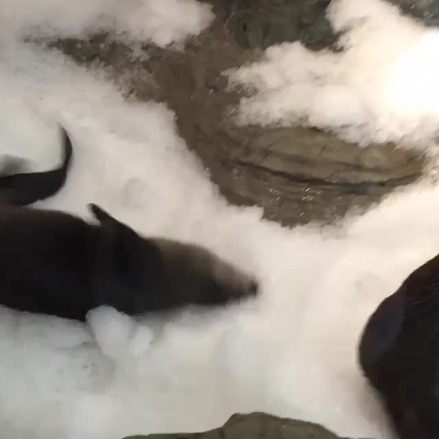 cute, gifsofotters, snow, Playtime in the snow GIFs