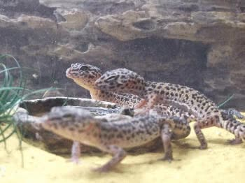 Watch and share 08-Leopard-gecko-0919-1 GIFs on Gfycat
