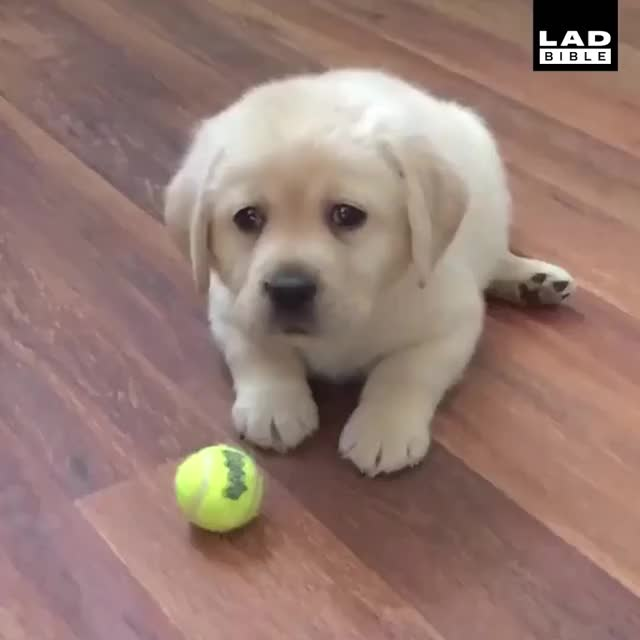 Watch For the love of God play with him already! 😭😭 GIF by Nomorefoxgiven (@nomorefoxgiven) on Gfycat. Discover more LADbible, dog GIFs on Gfycat