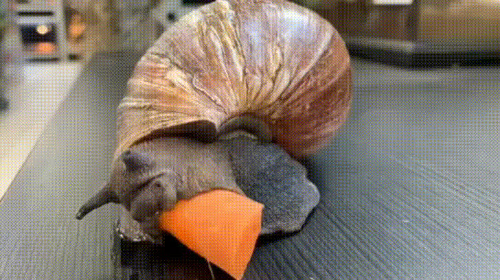 carrot, nature, snail, Giant African Snail Eating a Carrot GIFs