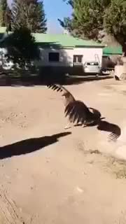 Watch Condor flies down to say hi to the vet who cured him as a chick (Neuquen, Argentina) (reddit) GIF on Gfycat. Discover more aww GIFs on Gfycat