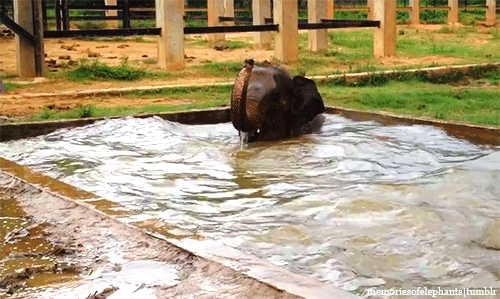 Asian Elephant, Cambodia, Elephant, Elephant Swim, Elephant: Seila, Elephants, Gifs: Mine, Linked In the Caption, Look At How Happy She Is, Mine, My Edit, Precious CUTIE, SO DARLING, Surin Project, Swimming, You NEED To Watch the Video, Gentle Giants GIFs