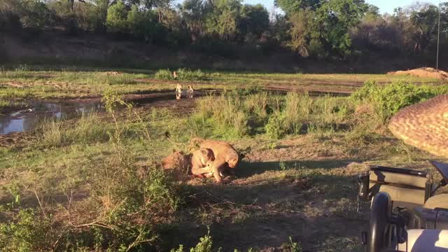 Watch and share Tsalala Cubs Rush River GIFs by Londolozi Game Reserve on Gfycat
