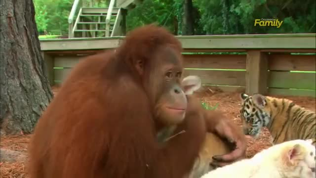 Watch Orangutan plays with baby tigers GIF on Gfycat. Discover more baby tigers, gif, orangutan feeds baby tigers GIFs on Gfycat