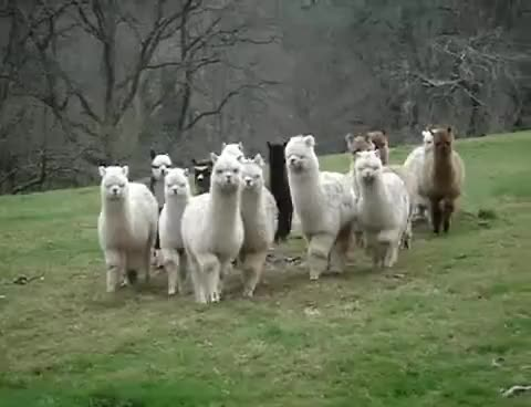 Watch and share Alpaca Approach GIFs on Gfycat