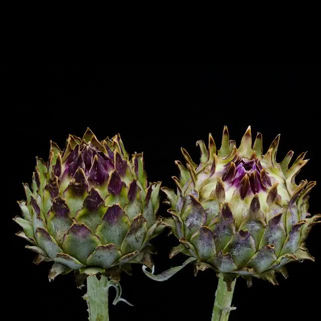 Watch and share These Artichoke Buds Blooming GIFs by MyNameGifOreilly on Gfycat
