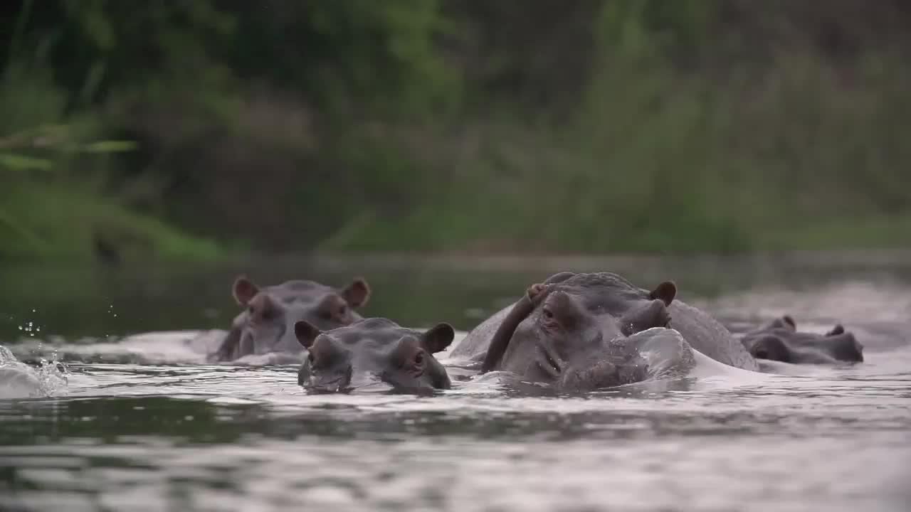hippo, hippopotamus, Hippo snort GIFs