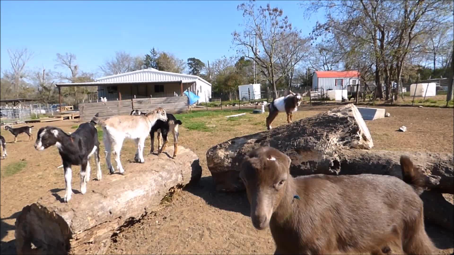 goatparkour, knsfarm, Excited GIFs