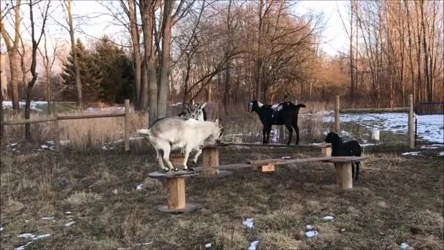 Watch and share Goat Parkour GIFs and Eyebleach GIFs by KNS Farm on Gfycat